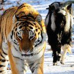 Директор парка назвал причину смерти козла Тимура ➤ Главное.net