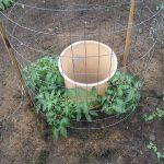 Высаживание помидоров вокруг ведра — топ-метод ➤ Главное.net
