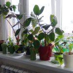 Убийцы в горшках: топ-3 опасных домашних растений ➤ Главное.net