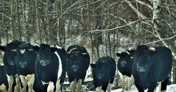 Одичавшие чернобыльские коровы удивили ученых ➤ Главное.net